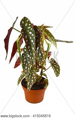 Tall Tropical Houseplant With Botanic Name 'begonia Maculata' With White Dots In Flower Pot Isolated