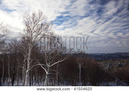 Birches On Hillside In White Mountains