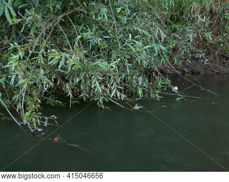 Water Current Carry Weeping Willow Branches, Tree Branches Hangs Above River
