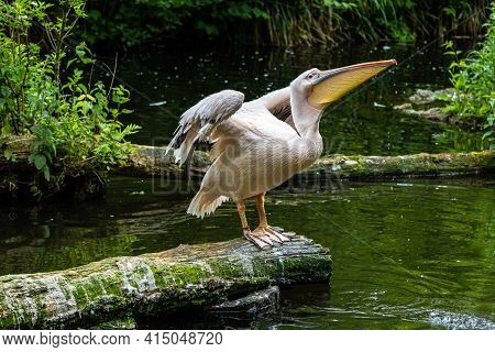 The Great White Pelican, Pelecanus Onocrotalus Also Known As The Rosy Pelican Is A Bird In The Pelic