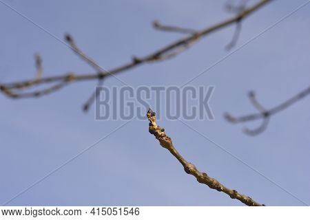 Narrow-leaved Ash Branches With Buds Against Blue Sky - Latin Name - Fraxinus Angustifolia