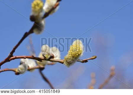 Curly Locks Willow Branch With Flowers - Latin Name - Salix Caprea Curly Locks