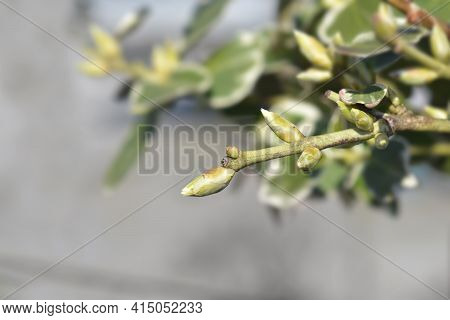 Wintercreeper Emerald Gaiety Branch With Leaves Buds - Latin Name - Euonymus Fortunei Emerald Gaiety