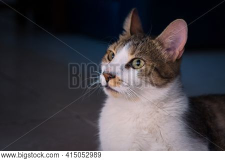 Gorgeous Tabby, Mixed Breed Young Cat. Close Up, Studio Portrait.