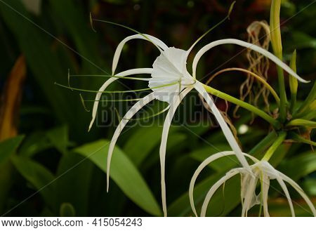 Caribbean Spider Lily (hymenocallis Caribaea), Close Up Of A Specimen In A Garden In Thailand.