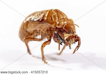 Close Up View Of A Brown Dead Cicada On A White Background
