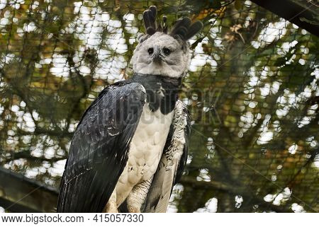 The Harpy Eagle, Harpia Harpyja Is Also Called The American Harpy Eagle.