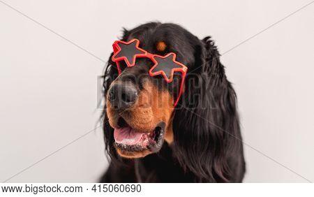 Scottish setter dog wearing sunglasses in stars frame on white wall background