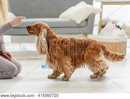 Owner feeding english cocker spaniel dog from palm at home