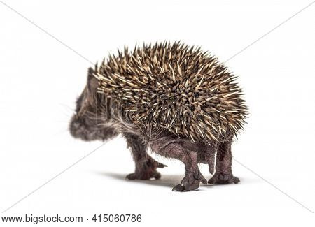 Back view of a Young European hedgehog walking away isolated on white