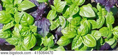 Basil Leaf (ocimum Basilicum).  Fresh Organic Green And Purple Basil Growing In The Garden Top View.