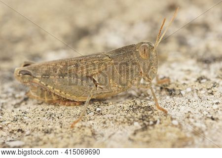 Detailed Closeup Of The Italian Locust, Calliptamus Italicus ,  In The Gard, France