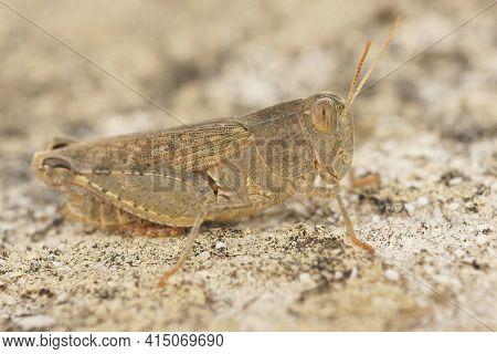 Detailed Closeup Of The Italian Locust, Calliptamus Italicus ,  In The Gard, France