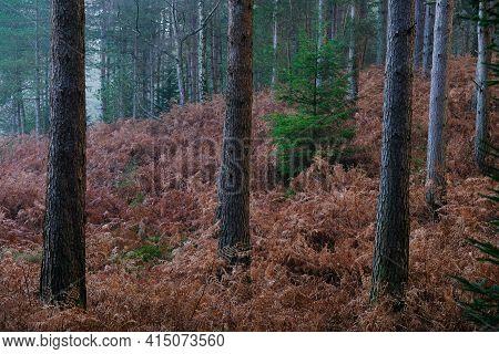 Small Green Fir Sapling Standing Within Large Mature Fir Trees In Fog. Brown Bracken Is On The Groun
