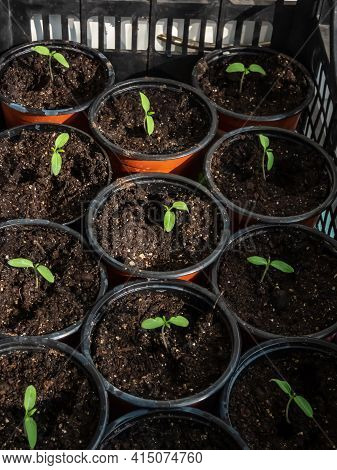 Small Tomato Plant Seedlings Growing In Plastic Pot On The Windowsill. Indoor Gardening And Germinat