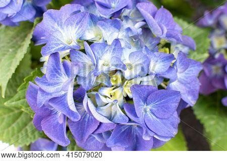 Blue Purple Hydrangea In A Garden In A Sunny Summer Day. Beautiful Blossoming Tender   Hydrangea Flo