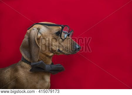A Dog Wearing Glasses And A Bow Tie Raised His Head And Looked Away, Posing Sideways Against A Red B