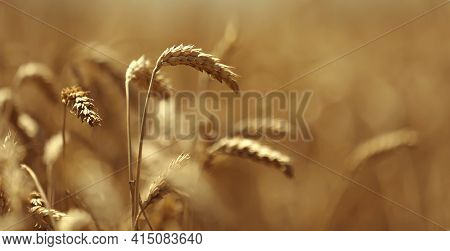 Banner Ears Of Wheat Close Up. Wheat Field. Ears Of Golden Wheat Close Up. Beautiful Nature Sunset L