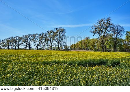 Rural Landscape With Fields Of Blooming Rapeseed And Trees In Spring In Poland