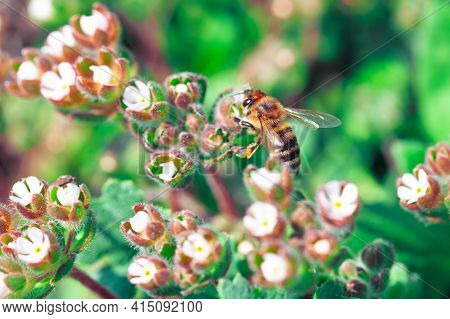 Bee In  White Small Flowers , Natural Pollination
