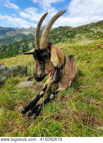 Chamois Coloured Goat In Front Of Alpine Panorama In Ticino, Switzerland
