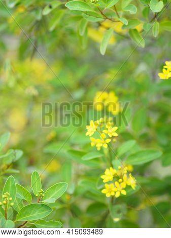 Little Yellow Flower Thryallis Glauca, Galphimia, Gold Shower Medium Shrub Dark Yellow Flowers Inflo