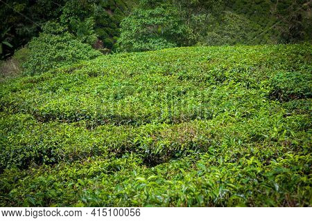 Tea Plantation In Cameron Highlands At  Malaysia.