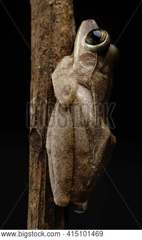 Brown Common Tree Frog Asia Amphibians Climbing Branches At Night With Its Large Eyes For Nocturnal