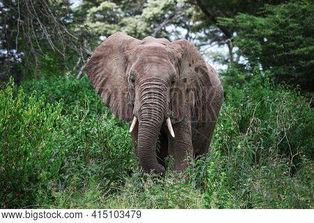 African Bush Elephant (loxodonta Africana) In A Deep Green Bush