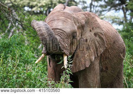 African Bush Elephant (loxodonta Africana) Eating Leaves In A Green Bush