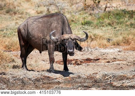 African Buffalo Or Cape Buffalo (syncerus Caffer) In A Dry Swamp