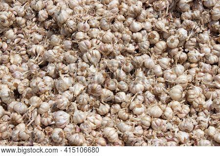 Fresh Garlic On Local Market. Bunch Of Garlic For Sale In Bazaar Market. Indian Garlic (allium Sativ