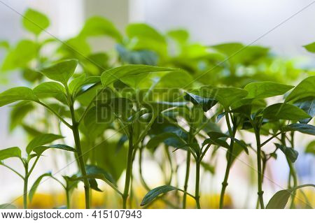 Pepper Seedlings. A Small Green Sprout In The Ground. A Small Plant In The Soil. Ecology, Environmen