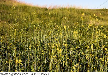 Rural Hillside Covered With Grasslands And Mustard Wildflowers During Spring Taken On Lush Grassland