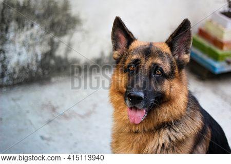 German Shepherd Dog Portrait. Alsatian Dog Portrait