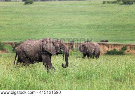 African Bush Elephants (loxodonta Africana) In A High Green Grass