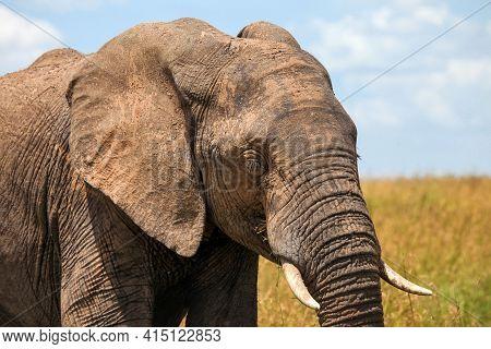 Closeup Photo Of The African Bush Elephant (loxodonta Africana)