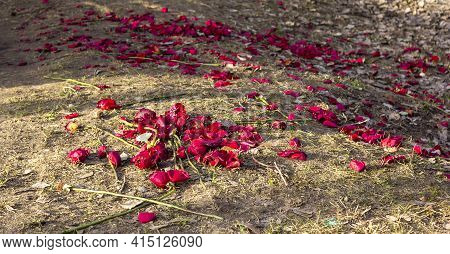Many Rose Petals And Roses Themselves On The Grass In Early Spring. Threw Out The Roses