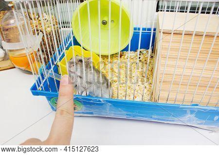 Jungar Hamster In A Cage.pet Hamster Care.