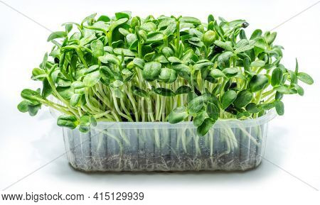 Sprouted seeds of sunflower. Isolated on white background. Microgreens as a health benefit.