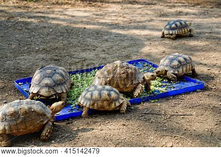 Close Up Group Of Giant Turtles Eating Food Inside Zoo's Fence.feeding Turtoise With Green Vegies On