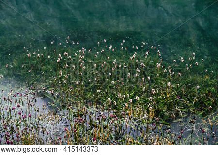 Many Small Flowers In Clear Water Among Underwater Green Grasses After Flood. Green Nature Backgroun