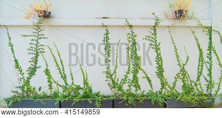 White Wall Pattern Surface Texture With Ivy Plant With Leaves, Green Creeper Bush And Vines. Materia