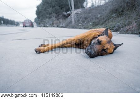 Hungry Colored Brown Alone Lazy Stray Dog Sleeping On The Roadside And Vehicles Passing By In City