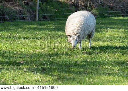 Dutch White Sheep Stands In Fresh Green Grass On The Field In The Spring With Sun In The Back