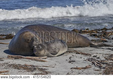 Male Southern Elephant Seal (mirounga Leonina) Trying To Mate With A Recently Weaned Pup On Sea Lion