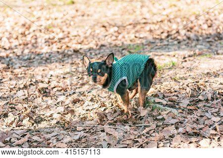 Chihuahua Pooping At Grass Field. Chihuahua Poop