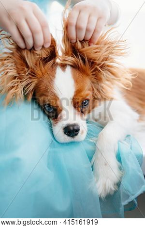 Cavalier King Charles Spaniel - A Breed Of Companion Dogs In Hands Of Hostess.