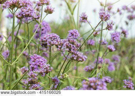 Beautiful Purple Flower Of Verbena Bonariensis Bloom With Sunlight In The Garden On Blur Nature Back