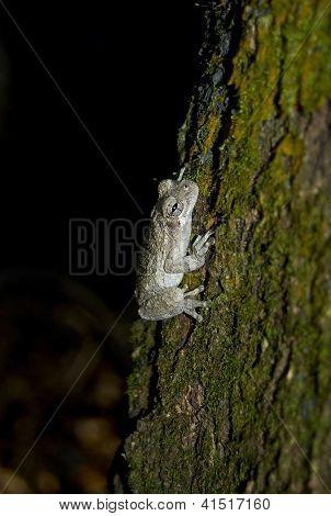 Eastern Gray Tree Frog